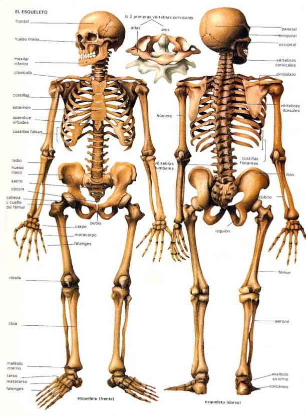 El_Esqueleto_Anatom_a